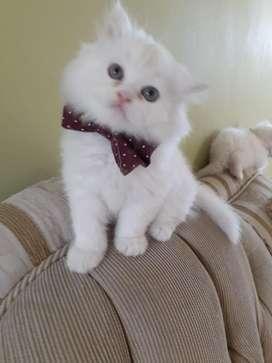 Vendo Gato Persa