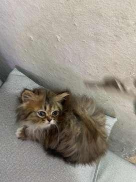 Me qeda una gatita muy hermosa