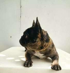 Bulldog francés, Yorkshire terrier tea cup y shithzu disponibles para monta en el HUILA