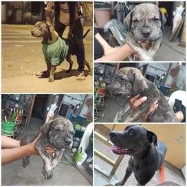 Cachorro Pitbull de mes y medio blinder blue