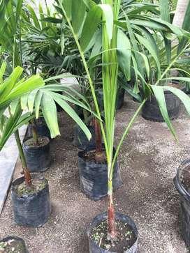 palmera veitchia