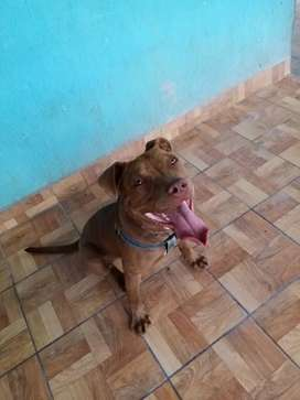 Vendo pitbull terrier macho