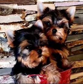 Yorkshire Terrier Machos a la venta  con 1 mes vacunados