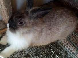 Venta de conejos y cuyes