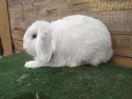 Conejos mini lops adultos