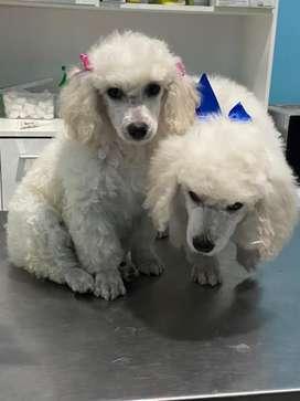 En venta lindos cachorros poodle mediano