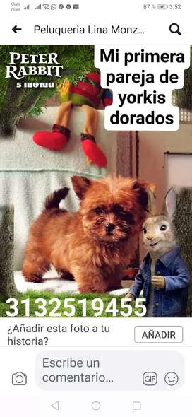 Yorkis en villavicencio stanart mini