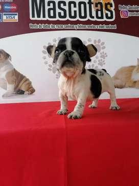 Lindos bulldog francés 55 días de edad vacunados