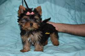 YORKY, YORKSHIRE TERRIER PEDIGREE NENES
