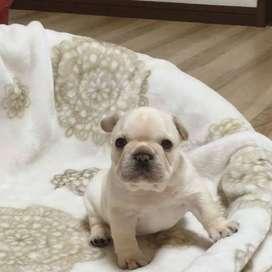 bulldog frances ternura sin igual amorosos 56 dias