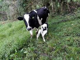 Vendo Vaca Y Vaconas Holstein