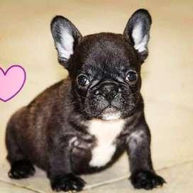 bulldog frances negros de 46 dias de vida entrega inmediata