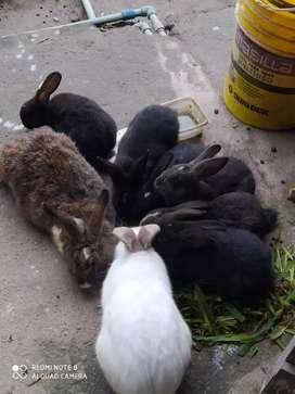 Conejos Negros