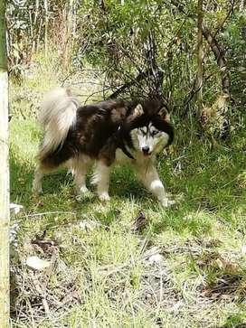 Husky malamute para monta