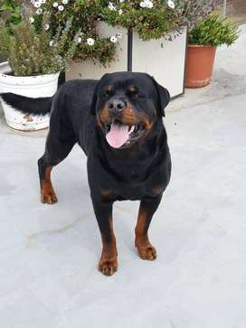 Rottweiler macho puro, grande , campeón nacional, pedigree disponible por montas