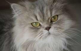 Gatos persas de meses