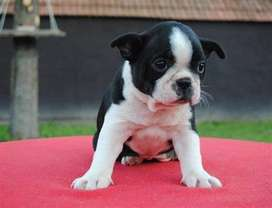 boston terrier braquiocefálico pequeño muy livianos