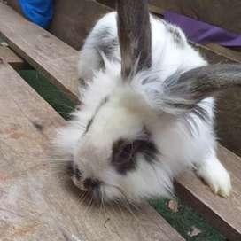 Conejo macho cabeza de León