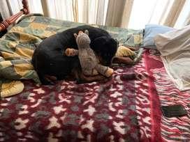 Vendo perrito rottweiler de 8 meses
