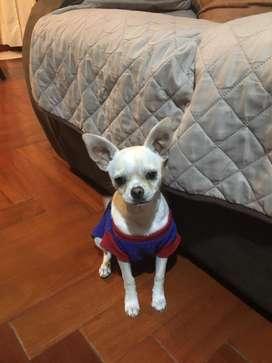 Chihuahua toy blanco