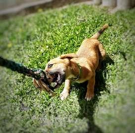 cachorra amercan pitbull terrier