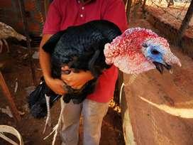 Vendo pavo de aprox 10 kg