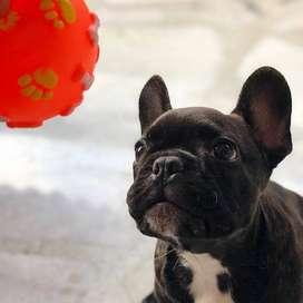 Bulldog Frances Negro Disponible para entrega Inmediata, 66 dias de edad