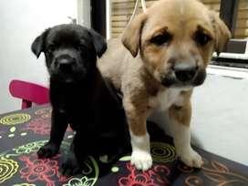 Adopción Cruce Labrador con Akita