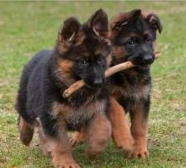 perro razas pedigree animales escuela adiestramiento cachorro pastor aleman