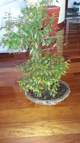 bonsai arbol guayacan grande