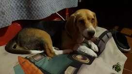 Vendo beagle