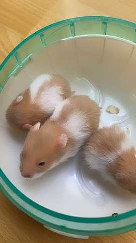 Hamster hembrita