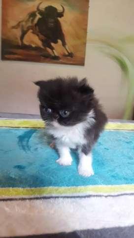 Gatos persa Exotico