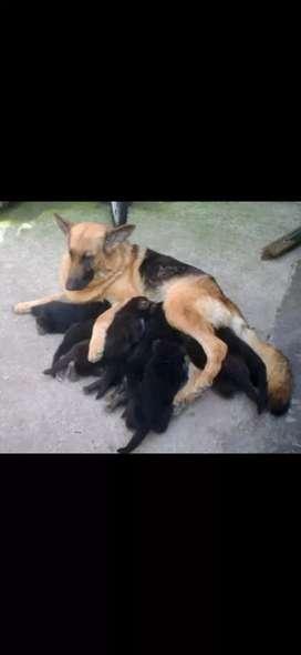 Hermoso cachorro pastor alemán cruzado con labrador