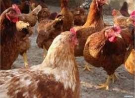 Vendo gallinas ponedoras
