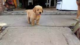 Cachorros golden retriever machos para retirar