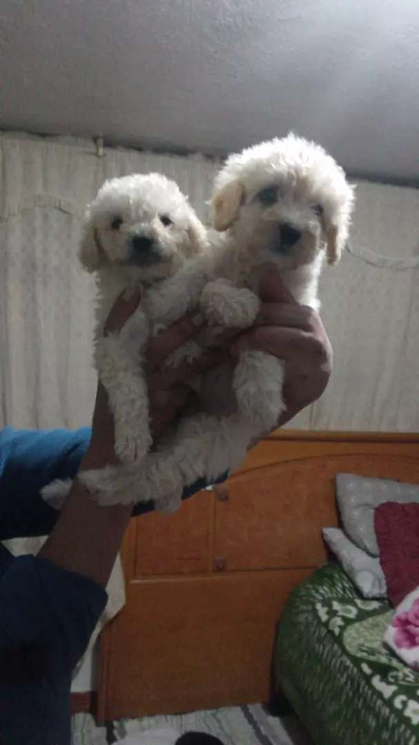 Cachorritos french poodle 0