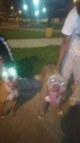 Perros pitbull red nose