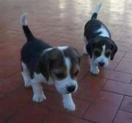 Alta pureza cachorros beagle disponibles
