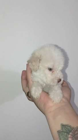 Tiernos french poodles tacitas minitoy garantizados