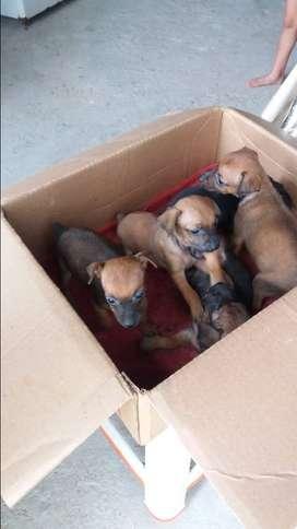 Pincher cachorros