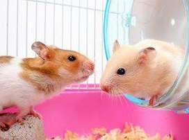 Regalo linda pareja de hamster sirios smp