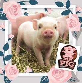Mini PIG macho Rosado