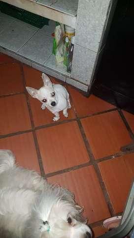 Se ofrece perro macho chihuahua  para monta genética pura