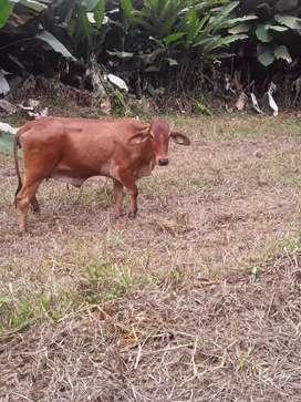 Venta vacas preñadas girolando