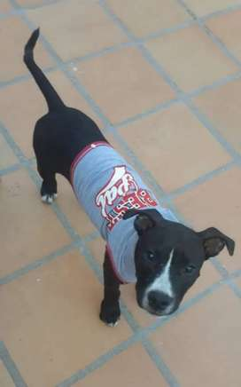 Pitbull stanford terrier