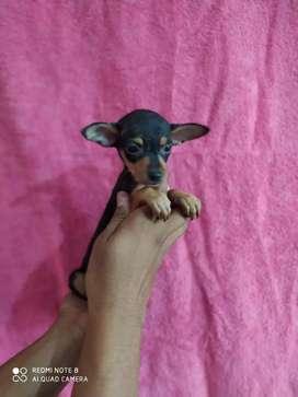 Hermoso pincher miniatura