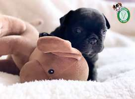 Cachorritos Lindos Bulldog Frances en Pet Vital!