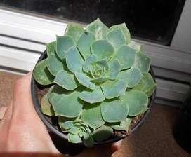 Planta Suculenta Secunda Cultivar Japones Con Hijo Maceta 9