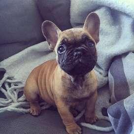 bulldog frances de 55 dias de vida, entrega inmediata vacunados y desparasitados